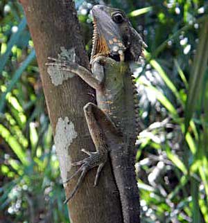 forest-dragon - Wildlife Tours from Cairns