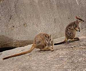 Rock Wallabies at Granite Gorge, Mareeba