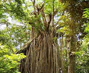 Curtain Fig Tree, Yungaburra