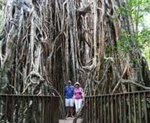 Cathedral Fig Tree, Atherton Tablelands