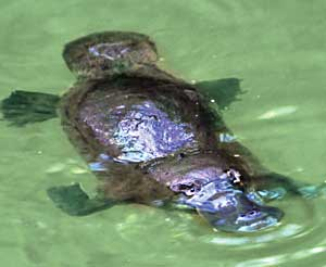 platypus - spotting on the Atherton Tablelands