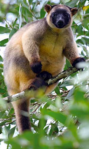spot rare wildlife such as tree kangaroos